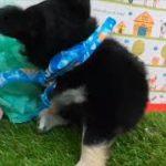 ペットショップ 犬の家 神戸店 「チワワ(ロング)」「104488」