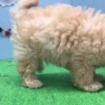 ペットショップ犬の家【刈谷店】【ハーフ犬】【104536】