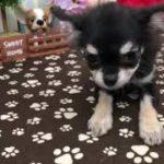 ペットショップ 犬の家 稲毛店 「チワワ」「104788」