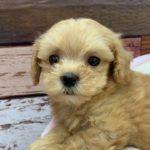 ペットショップ 犬の家 三木店 「ハーフ犬(マルプー)」「104819」