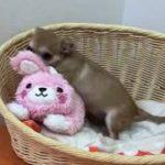 ペットショップCoo&RIKU チワワ 426505