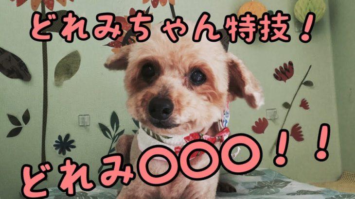 トイプーちゃんの得意技![兵庫ペット医療センター トリミング 尼崎 犬動画 ]Happy dog glooming