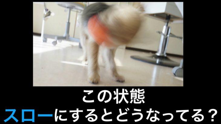 【ヨークシャテリア】首を振る瞬間を撮る![兵庫ペット医療センター トリミング 尼崎 犬動画 ]Happy dog glooming