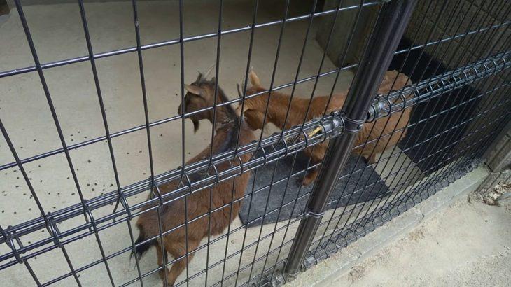 【衝撃映像】ヤギさん喧嘩・・・(五月山動物園)[Impact video] Goats are niece … (Mayyama Zoo)