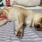 🔴[LIVE#10]お盆の夜更かしみるくライブ【dog】【puppy】【Chihuahua】【ペット動画】