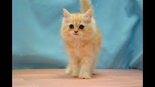 スコティッシュフォールド NO.190718 ペットショップ『ヒラマツケンネル』の子猫