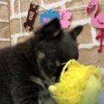 【No.104686・チワワ♀】ペットショップ犬の家猫の里碧南店