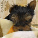 ペットショップ 犬の家 桑名店 「YK♀」「104688」