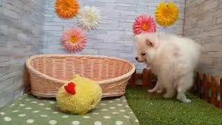 ペットショップcoo&riku No.427332 ポメラニアン