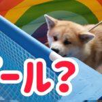 ペットフォレストのプールイベントに秋田犬らんぷを連れてきてみた!