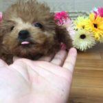 ペットショップ犬の家 豊川インター店 タイニープードル  メス
