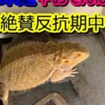 我が家のペット紹介!フトアゴヒゲトカゲ【第二弾】