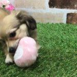 ペットショップ犬の家 精華店 チワックス