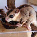 【ペットのいる生活】フクロモモンガの食事シーン 接写ver