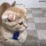 ペットショップ 犬の家 加古川店「スコティッシュフォールド」「104478」
