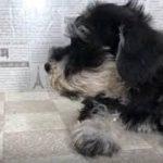 ペットショップ 犬の家 加古川店「ミニチュアシュナウザー」「104507」