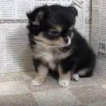 ペットショップ 犬の家 加古川店「チワワ」「104760」