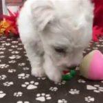 ペットショップ 犬の家 稲毛店 「ビションフリーゼ」「105216」