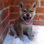 ペットショップ 犬の家 岐南店 「柴犬」「105443」