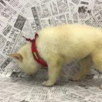 ペットショップ 犬の家 中津川店 「柴」「105474」