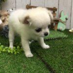 ペットショップ 犬の家 倉敷店 「チワワ」「105646」