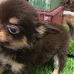 ペットショップ 犬の家 京都精華店 「チワワ」「105651」