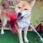 ペットショップCoo&RIKU NO.423807 柴犬