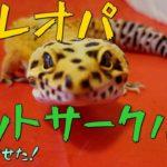 我が家のレオパをペットサークルで散歩させた!My leopardgecko has a walk in pet circle