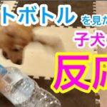 【ミニピン アイビー】ペットボトルを見た時の子犬の反応が可愛いすぎた!Reaction when a puppy saw a plastic bottle for the first time