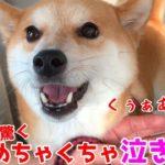 [キュア]。 ペットホテルで寂しすぎて泣き叫ぶのが止まらない柴犬ハナ shiba inu cries out