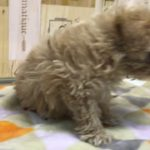 ペットショップ 犬の家 ○○店 「品種名」「問い合わせ番号」