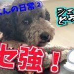 【ペット動画】クセ強!!トイプードルのシェルくんの日常②