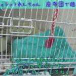 【ペット】フェレットあんちゃん、座布団で遊ぶ