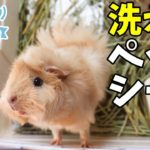 検証! 1日経った洗えるペットシート cute guineapig