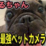 【元保護犬フレンチブルドッグ】コスパ最強!ペット用カメラ!!…塚本無線のみてるちゃん!