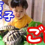 【ペット】亀吉とカメ子にご飯をあげよう!ヘルマンリクガメ☆