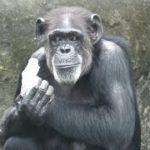 エンターテイナーのサンタとペットボトルのジージョ 千葉市動物公園 チンパンジー