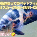 淡水熱帯魚界きってのペットフィッシュ🐕️タイガーオスカー(アストロノータスオケラータス)の魅力‼️かっこ可愛いい😘
