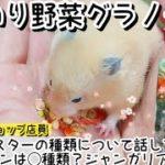 【元ペットショップ店員】手のりしながらハムスターの種類について細かく話してみたっ!!