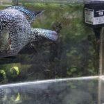 フラワーホーン テキサス ジャックデンプシー 中南米 シクリッド 熱帯魚 ペット