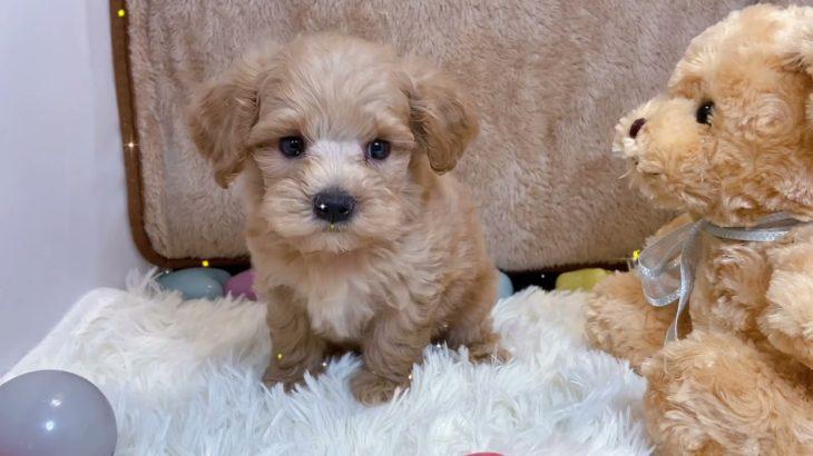 ペットショップ犬の家京都樟葉店「犬種ハーフ犬」「お問い合わせ番号:132864」